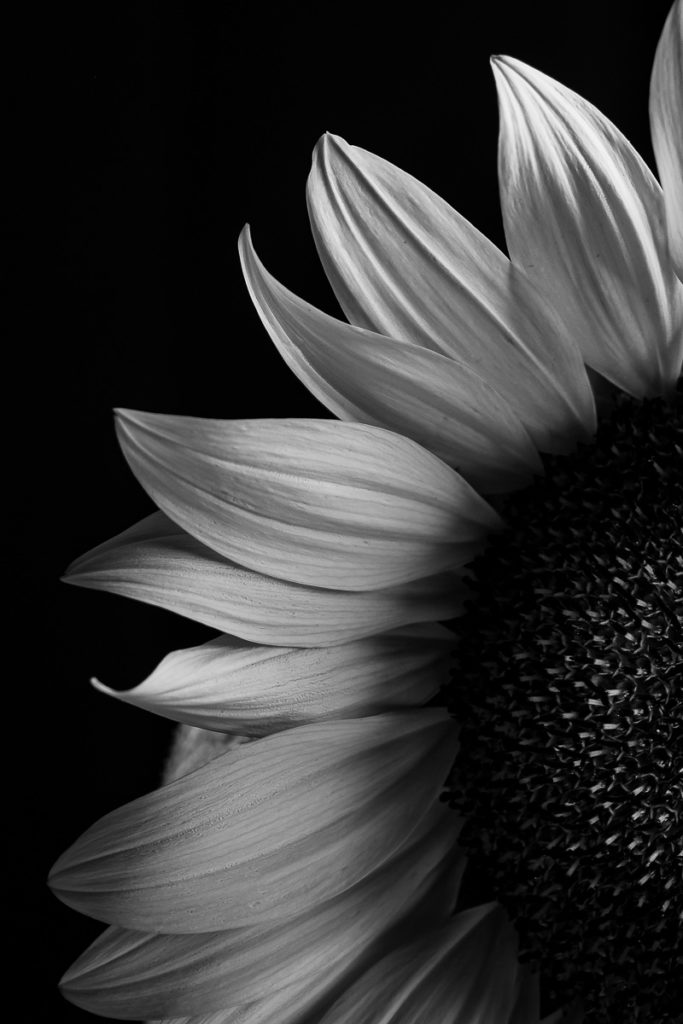 Photography of a sunflower in black and white